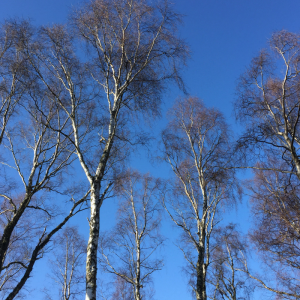 Feel Calm - Silver birch trees