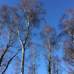 Feel Calm - Silver birch trees